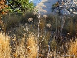 Preveli. Giant fennel (Ferula communis)