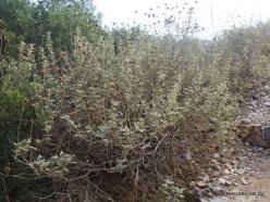 Preveli. Jerusalem Sage (Phlomis fruticosa)