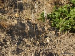 Preveli. Sea squill (Drimia maritima) (2)