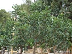 Spilia. Carob tree (Ceratonia siliqua) (2)