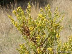 Triopetra. Woody fleabane (Dittrichia viscosa ssp.angustifolia)