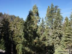 Josemičio nacionalinis parkas. Glacier Point. Geltonoji pušis (Pinus ponderosa) (1)
