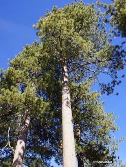 Josemičio nacionalinis parkas. Glacier Point. Geltonoji pušis (Pinus ponderosa) (2)