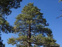 Josemičio nacionalinis parkas. Glacier Point. Geltonoji pušis (Pinus ponderosa) (3)