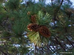 Josemičio nacionalinis parkas. Glacier Point. Geltonoji pušis (Pinus ponderosa) (4)