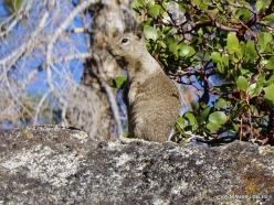 Josemičio nacionalinis parkas. Glacier Point. Kalifornijos žemės voverė (Otospermophilus beecheyi) (2)