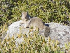 Josemičio nacionalinis parkas. Glacier Point. Kalifornijos žemės voverė (Otospermophilus beecheyi) (3)