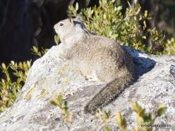 Josemičio nacionalinis parkas. Glacier Point. Kalifornijos žemės voverė (Otospermophilus beecheyi) (4)