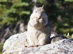 Josemičio nacionalinis parkas. Glacier Point. Kalifornijos žemės voverė (Otospermophilus beecheyi) (5)