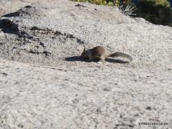 Josemičio nacionalinis parkas. Glacier Point. Kalifornijos žemės voverė (Otospermophilus beecheyi) (6)