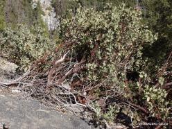 Josemičio nacionalinis parkas. Glacier Point. Meškauogė (Arctostaphylos patula) (2)