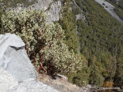 Josemičio nacionalinis parkas. Glacier Point. Meškauogė (Arctostaphylos patula)