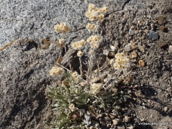 Josemičio nacionalinis parkas. Glacier Point. Perlamutrinis šlamainis (Anaphalis margaritacea)