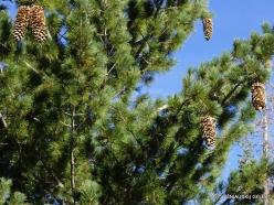 Josemičio nacionalinis parkas. Glacier Point. Saldžioji pušis (Pinus lambertiana) (2)