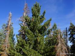 Josemičio nacionalinis parkas. Glacier Point. Saldžioji pušis (Pinus lambertiana)