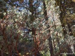 Josemičio nacionalinis parkas. Josemičio slėnis. Arbutus menziesii