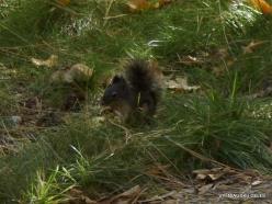 Josemičio nacionalinis parkas. Josemičio slėnis. Duglaso voverė (Tamiasciurus douglasii)