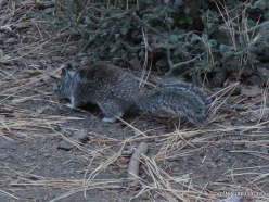 Josemičio nacionalinis parkas. Josemičio slėnis. Kalifornijos žemės voverė (Otospermophilus beecheyi) (2)