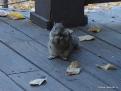 Josemičio nacionalinis parkas. Josemičio slėnis. Kalifornijos žemės voverė (Otospermophilus beecheyi) (3)