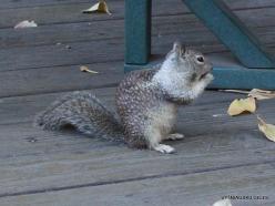 Josemičio nacionalinis parkas. Josemičio slėnis. Kalifornijos žemės voverė (Otospermophilus beecheyi)