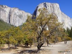 Josemičio nacionalinis parkas. Josemičio slėnis. Kalifornijos juodasis ąžuolas (Quercus kelloggii) (2)