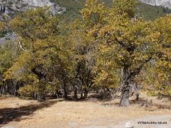 Josemičio nacionalinis parkas. Josemičio slėnis. Kalifornijos juodasis ąžuolas (Quercus kelloggii)
