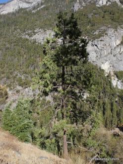 Josemičio nacionalinis parkas. Josemičio slėnis. Kaliforninis kedrotis (Calocedrus decurrens)