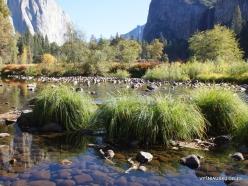 Josemičio nacionalinis parkas. Josemičio slėnis. Merced upė. Viksva (Carex sp.) (2)