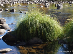 Josemičio nacionalinis parkas. Josemičio slėnis. Merced upė. Viksva (Carex sp.) (3)