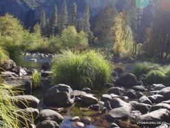 Josemičio nacionalinis parkas. Josemičio slėnis. Merced upė. Viksva (Carex sp.) (4)