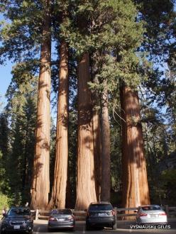 Karalių kanjono nacionalinis parkas. Didysis mamutmedis (Sequoiadendron giganteum) (1)
