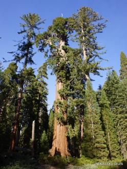 Karalių kanjono nacionalinis parkas. Didysis mamutmedis (Sequoiadendron giganteum) (2)