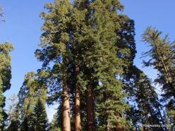 Karalių kanjono nacionalinis parkas. Didysis mamutmedis (Sequoiadendron giganteum) (3)