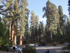 Karalių kanjono nacionalinis parkas. Didysis mamutmedis (Sequoiadendron giganteum) (4)
