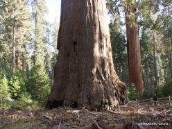 Karalių kanjono nacionalinis parkas. Didysis mamutmedis (Sequoiadendron giganteum) (6)
