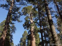Karalių kanjono nacionalinis parkas. Didysis mamutmedis (Sequoiadendron giganteum) (7)