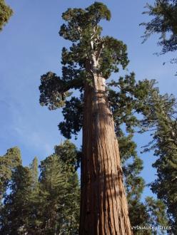 Karalių kanjono nacionalinis parkas. Didysis mamutmedis (Sequoiadendron giganteum) (8)