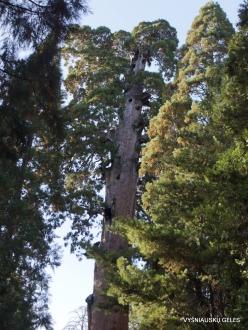 """Karalių kanjono nacionalinis parkas. Didysis mamutmedis (Sequoiadendron giganteum). """"General Grant Tree"""" – antras didžiausias medis pasaulyje (2)"""