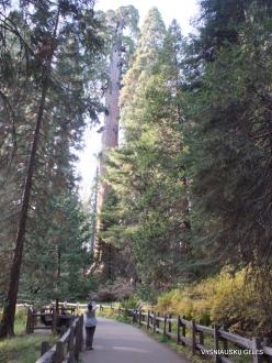 """Karalių kanjono nacionalinis parkas. Didysis mamutmedis (Sequoiadendron giganteum). """"General Grant Tree"""" – antras didžiausias medis pasaulyje (3)"""