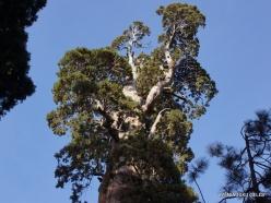 """Karalių kanjono nacionalinis parkas. Didysis mamutmedis (Sequoiadendron giganteum). """"General Grant Tree"""" – antras didžiausias medis pasaulyje (4)"""