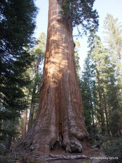 """Karalių kanjono nacionalinis parkas. Didysis mamutmedis (Sequoiadendron giganteum). """"General Grant Tree"""" – antras didžiausias medis pasaulyje (5)"""