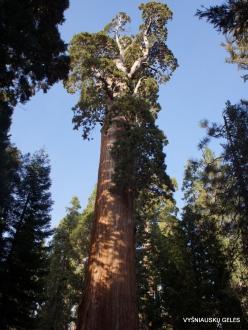 """Karalių kanjono nacionalinis parkas. Didysis mamutmedis (Sequoiadendron giganteum). """"General Grant Tree"""" – antras didžiausias medis pasaulyje (6)"""