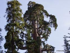 """Karalių kanjono nacionalinis parkas. Didysis mamutmedis (Sequoiadendron giganteum). """"General Grant Tree"""" – antras didžiausias medis pasaulyje (8)"""