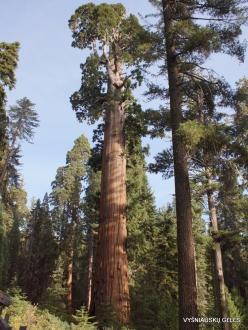"""Karalių kanjono nacionalinis parkas. Didysis mamutmedis (Sequoiadendron giganteum). """"General Grant Tree"""" – antras didžiausias medis pasaulyje (9)"""