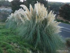 Netoli Fresno. Argentininė kortaderija (Cortaderia selloana) (2)