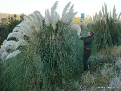 Netoli Fresno. Argentininė kortaderija (Cortaderia selloana) (3)