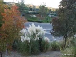 Netoli Fresno. Argentininė kortaderija (Cortaderia selloana) (5)