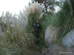 Netoli Fresno. Argentininė kortaderija (Cortaderia selloana) (6)
