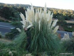 Netoli Fresno. Argentininė kortaderija (Cortaderia selloana) (7)