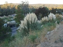 Netoli Fresno. Argentininė kortaderija (Cortaderia selloana) (8)